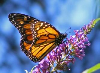 Butterfly_Beauty